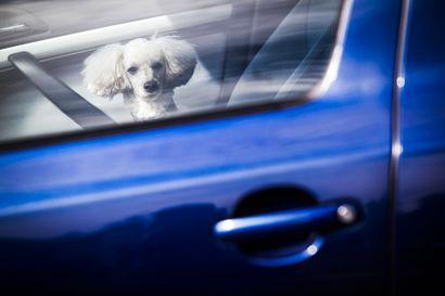 Koiraa ei saa jättää yksin autoon pakkasella – jo viiden asteen pakkanen voi saada koiran palelemaan sillä aikaa, kun omistaja on kauppareissulla