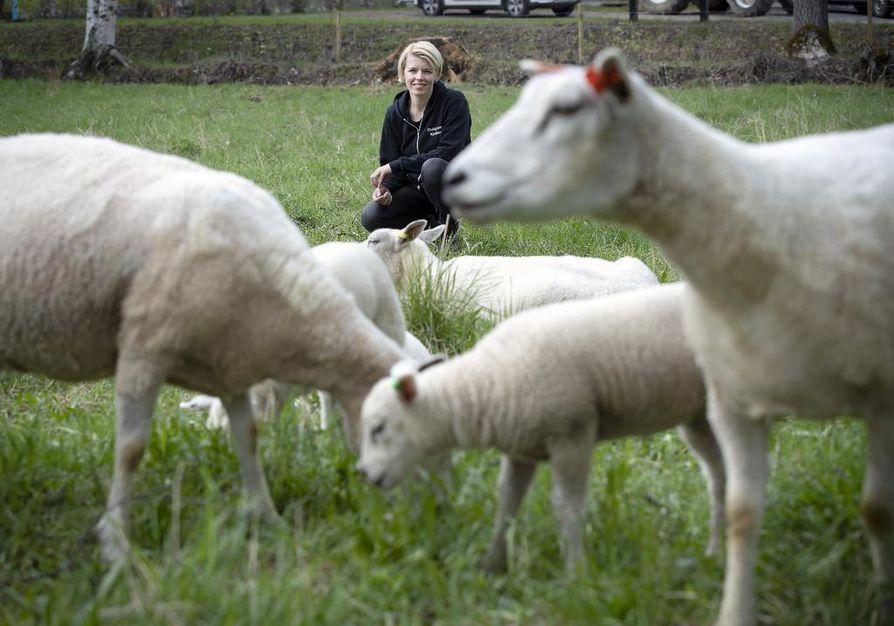 Riikka Juntunen laiduntaa lampaita eri puolilla kuntakeskusta, muun muassassa vanhan Pappilan pellolla.