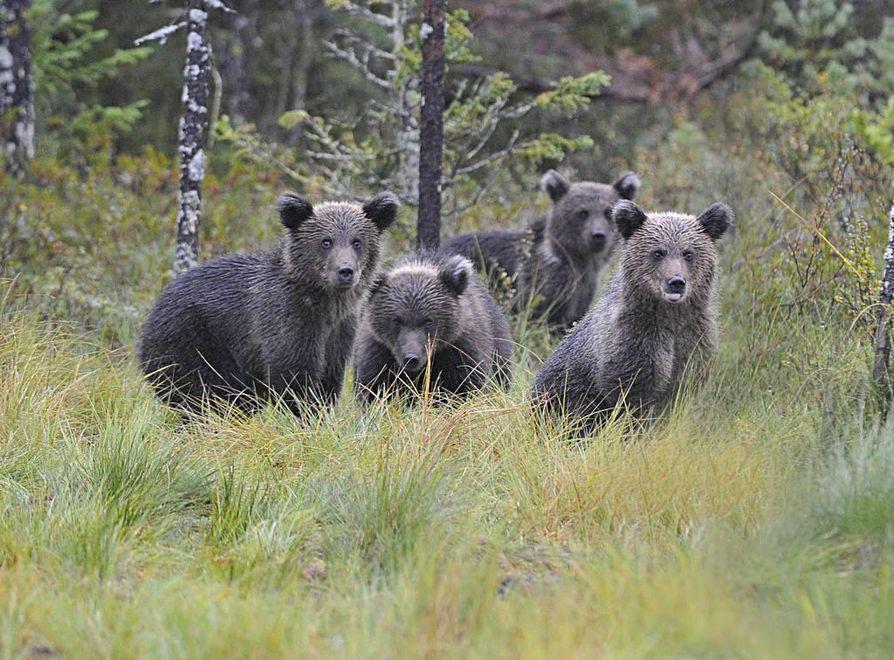 Karhunpoikaset katsovat maailmaa tarkkaan.