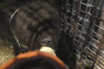 Katso video: Orpo karhunpentu on kotiutunut Kuusamon suurpetokeskukseen