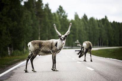 Porotokkia siirretään Sodankylässä – liikenne pysäytetään hetkellisesti