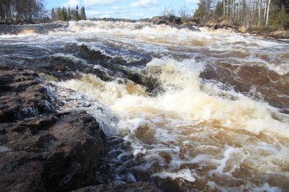 Koskikunnostuksissa tulee ottaa huomioon koko vesiekosysteemi, kertoo Luken selvitys – Istutukset voivat olla jopa haitallisia joen omalle taimenkannalle