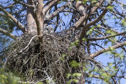 Nyt kannattaa lähteä seuraamaan pesiviä lintuja koko perheen voimin – tällä viikolla vietetään Lasten lintuviikkoa