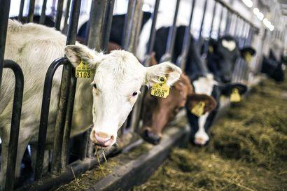 MT: Useita lehmiä kuollut Lapissa talitiaisten takia –Simolaiselta tilalta jouduttiin lopettamaan seitsemän ja tilan talous syöksyi raiteiltaan