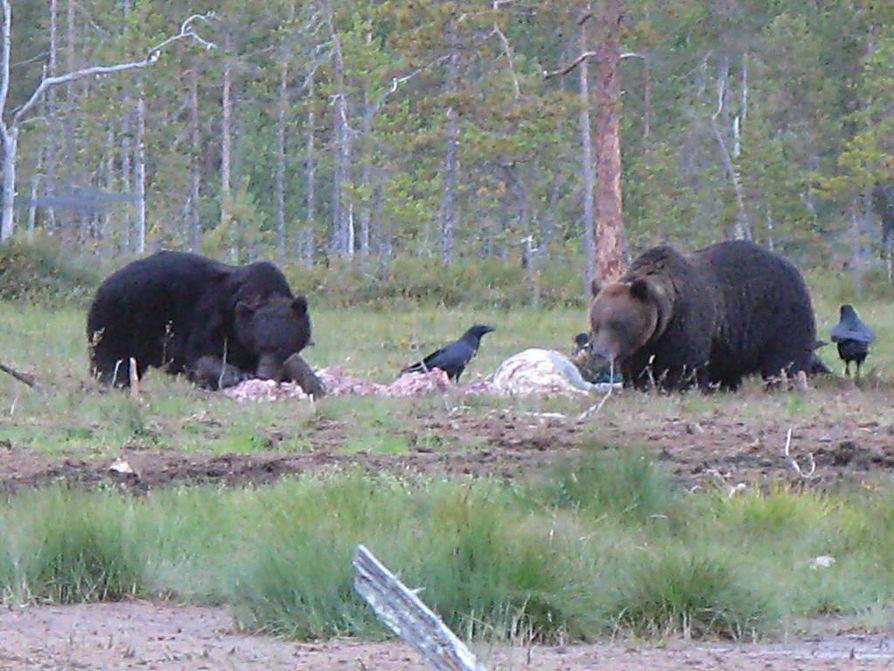 Onkimiehet törmäsivät karhuihin  Hossassa. Kuvan karhut tankkaavat haaskalla Kuhmossa.