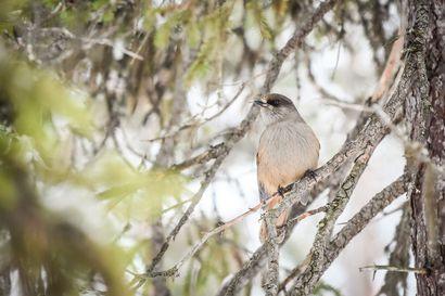 Pohjoisten metsälintujen määrä laskenut Suomen suojelualueilla 38 prosentilla – mäet ja vaarat suojaavat lintuja ilmaston lämpenemiseltä