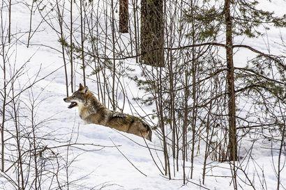 Luke: Koiran ja suden risteymät pystytään tunnistamaan aiempaa tarkemmin – Oulun yliopisto mukana menetelmän kehittämisessä