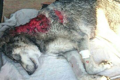 Sudet tappoivat hirvikoiran: Nelivuotiaalle käyttövaliolle tuli lähtö keskeltä tiukkaa passia