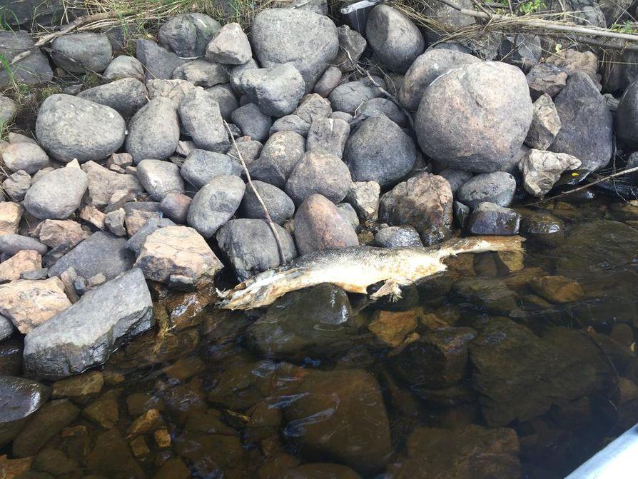 Tornion Ylivojakkalassa Tornionjoen rannalta löytyi sunnuntaina kaksi 6-7-kiloista lohta. Tätä kalaa ovat lokit ehtineet nokkimaan.
